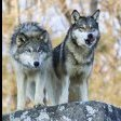 Wolves (Brian)